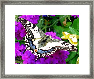 Pale Swallowtail Framed Print