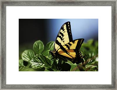 Framed Print featuring the photograph Pale Swallowtail by Richard Stephen
