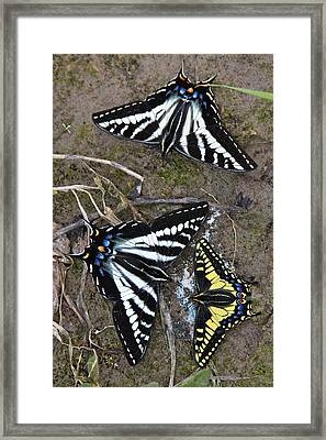 Pale Swallowtails And Western Tiger Swallowtail Butterflies Framed Print by Karon Melillo DeVega