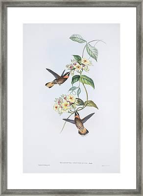 Pale-tailed Barbthroats, Artwork Framed Print