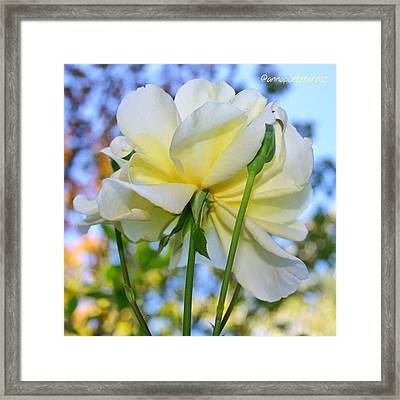 Pale Yellow Rose And Blue Sky Framed Print