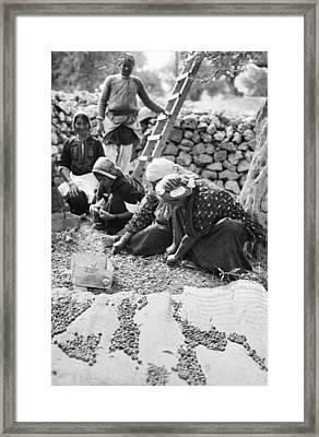 Palestine Gathering Olives Framed Print by Granger