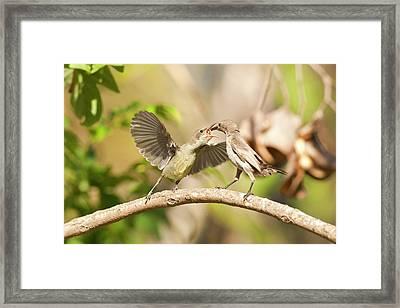 Palestine Sunbird Cinnyris Oseus Framed Print