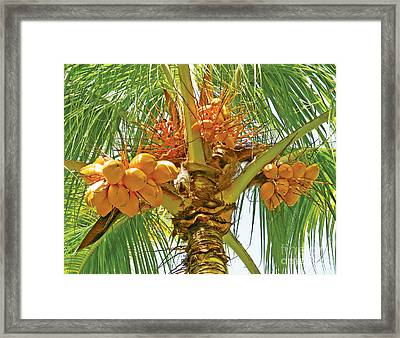 Palm Tree With Coconuts Framed Print by Val Miller
