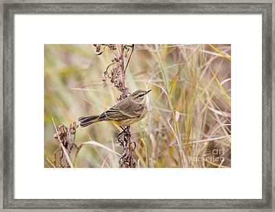 Palm Warbler In Autumn Framed Print