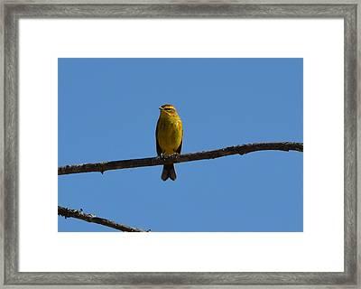 Palm Warbler Framed Print by James Petersen