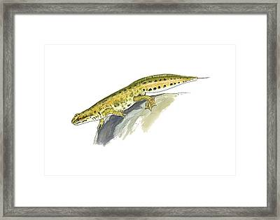 Palmate Newt, Artwork Framed Print