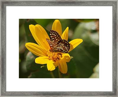 Palmer's Metalmark Butterfly Framed Print