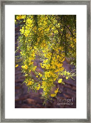 Palo Verde Blossoms Framed Print
