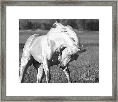 Palomino Stallion  Runs Framed Print by Carol Walker