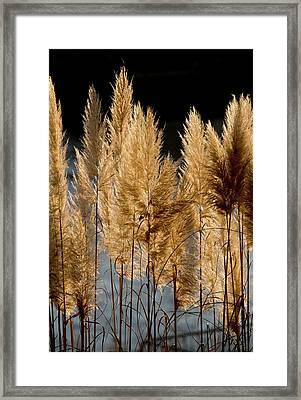 Pampas Grass (cortaderia Selloana) Framed Print