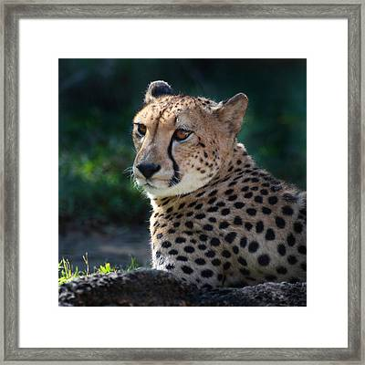 Framed Print featuring the photograph Pampered Kitty by Joseph G Holland