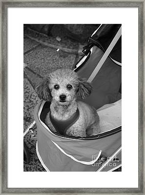 Framed Print featuring the photograph Pampered Poodle by Cassandra Buckley