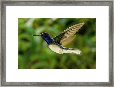 Framed Print featuring the photograph Panama Hummingbird by Rob Tullis
