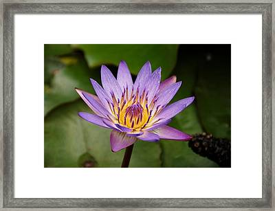 Panama Pacific Water Lily Framed Print by Trever Miller