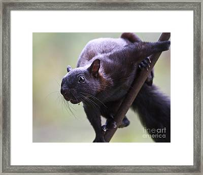 Panamanian Tree Squirrel Framed Print by Heiko Koehrer-Wagner
