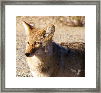 Coyote The Trickster Framed Print by Michele Penner