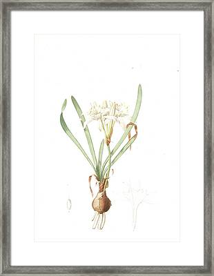 Pancratium Maritimum, Pancrace Maritime, Sea Daffodil Framed Print by Artokoloro
