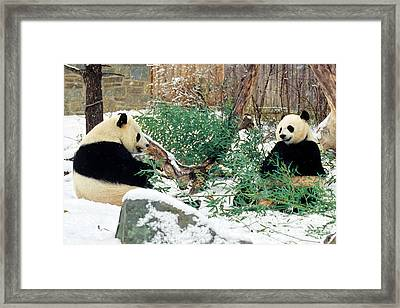 Panda Bears In Snow Framed Print by Chris Scroggins
