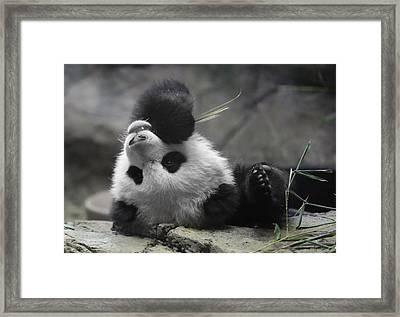 Panda Cub At National Zoo Framed Print