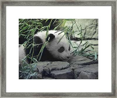 Panda Cub Bao Bao Framed Print by Jack Nevitt