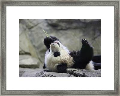 Panda Cub Framed Print