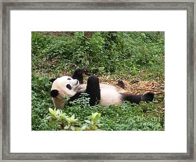 Panda On Back Framed Print