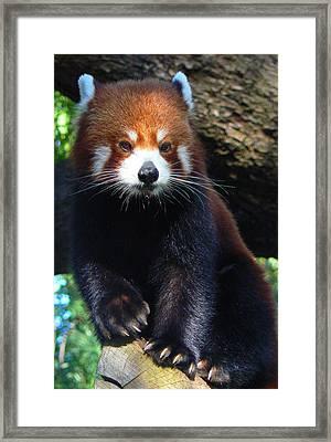 Panda Paws Framed Print by Margaret Saheed