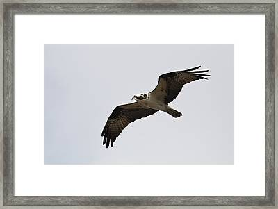 Pandion Haliaetus Framed Print