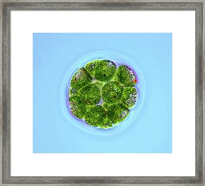Pandorina Green Algae Framed Print