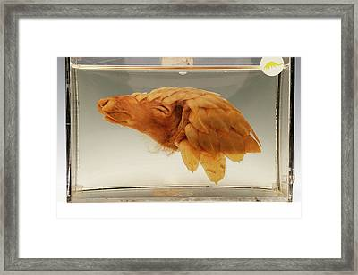 Pangolin Head Framed Print