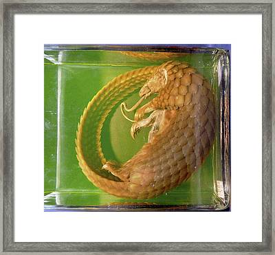 Pangolin Specimen Framed Print by Ucl, Grant Museum Of Zoology