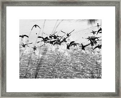 Panic In The Pond Framed Print by Rebecca Cozart