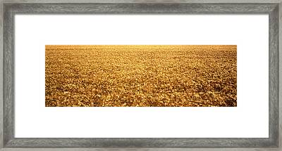 Panorama Of Amber Waves Of Grain, Wheat Framed Print