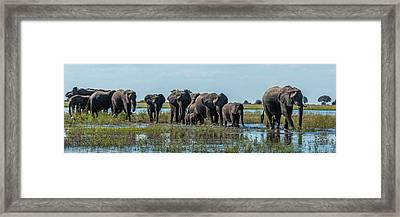 Panorama Of Elephants  Loxodonta Framed Print by Nick Dale