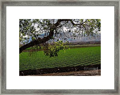Panoramic Of Winter Lettuce Framed Print by Robert Bales