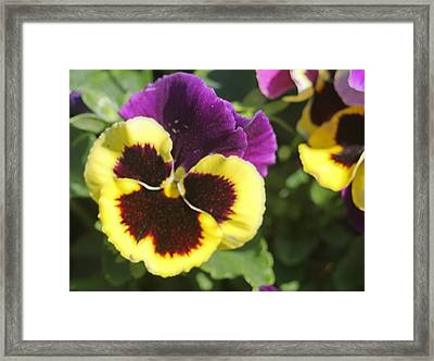 Panse Framed Print by Victoria Sheldon
