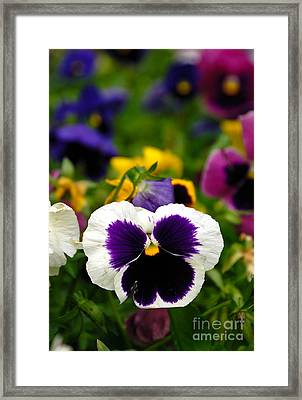 Pansies Framed Print by Amy Cicconi