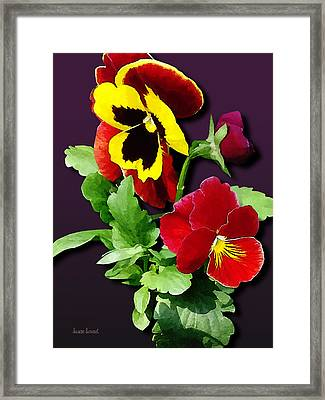 Pansy Family Framed Print by Susan Savad