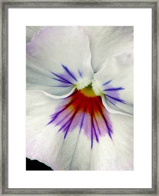 Pansy Flower 11 Framed Print by Pamela Critchlow