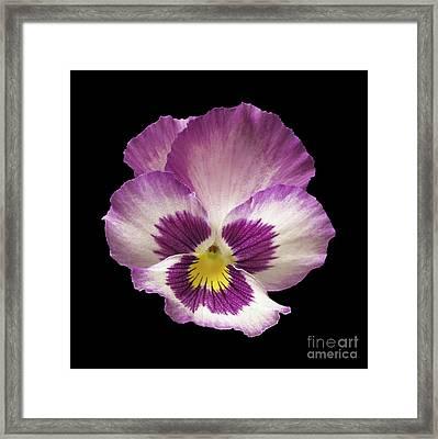 Pansy Flower Framed Print