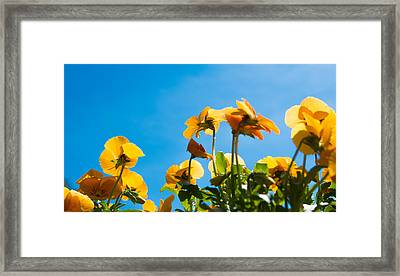 Pansy Flowers And The Clear Blue Sky Framed Print by Priyanka Ravi