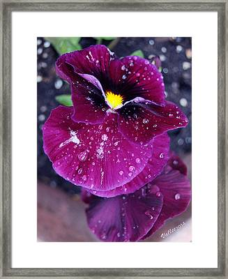 Pansy In The Dew Framed Print by Vallee Johnson