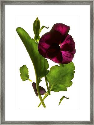 Pansy Purple Framed Print by Julia McLemore