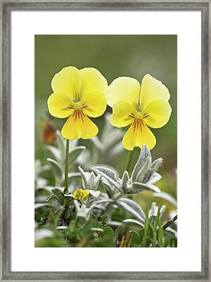 Pansy (viola Eugeniae) Flowers Framed Print by Bob Gibbons