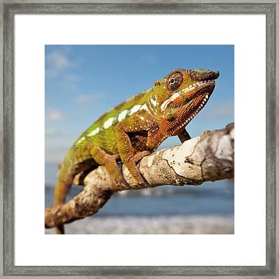 Panther Chameleon Framed Print by Alex Hyde