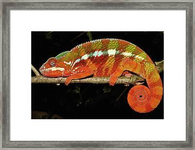 Panther Chameleon Chamaeleo Pardalis Framed Print