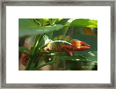 Framed Print featuring the photograph Panther Chameleon Madagascar 1 by Rudi Prott