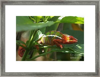 Panther Chameleon Madagascar 1 Framed Print