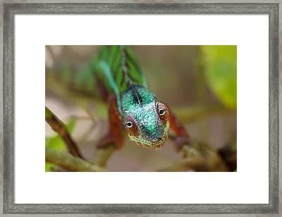 Panther Chameleon Male Madagascar Framed Print